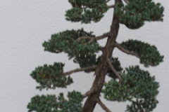 Meyer Juniper, Juniperus