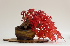 Styling a Shohin Maple