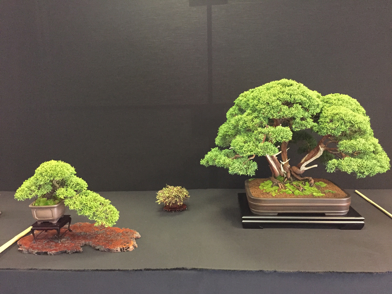 Bonsai Juniper on show